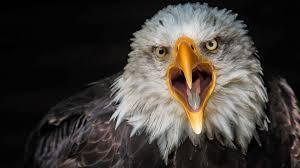 bird bald eagle from close up 4k ultra
