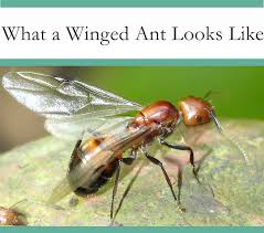 35+ Do Ants Have Wings Background