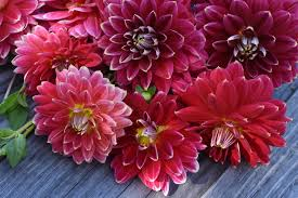 Dahlias for All — Little Farmhouse Flowers