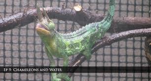 ep 9 chameleons water chameleon