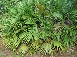 China Saw Palmetto en polvo extracto de fruta/La palma enana ...