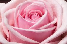 اجمل وردة في العالم الزهرة البلدي المتميزة لكل واحد في كل بلد