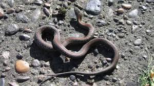 garden snakes you