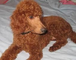 poodles cuttingedge pet services