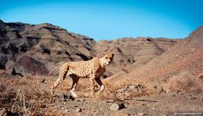 poaching isn t the cheetah s only
