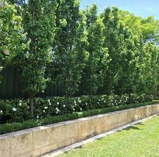 ornamental pears underplanted with