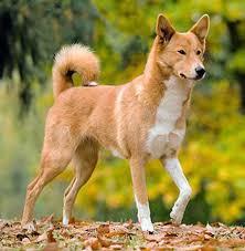 Breed Spotlight: Canaan Dog