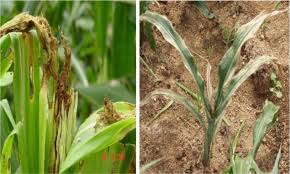 Improved Technologies for Higher Maize Production | IntechOpen