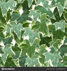 Common ivy green seamless pattern vector illustration — Stock Vector ©  s.belinska #269201046