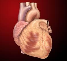 heart wikipedia