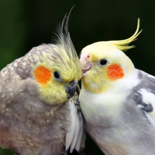 Cockatiels Are Not For Everyone – Here's Why