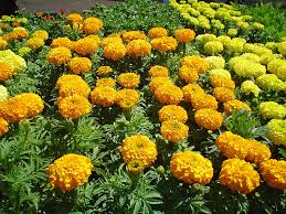 black gold marigolds repel pests in the