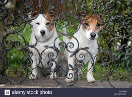 Two Small Dogs Looking Through Wrought Iron Garden Fence Railings Stock Photo Alamy
