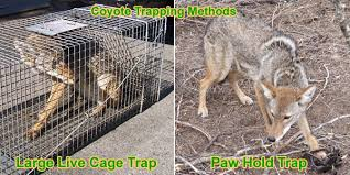 coyote trapping tips how to trap a coyote