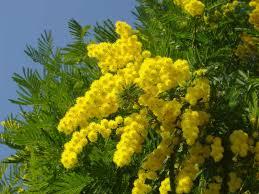 Napoli, per la festa della donna il giorno delle mimose