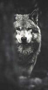 wolf iphone wallpapers top free wolf