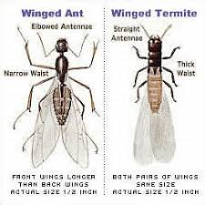 49+ Types Of Flying Ants  Pics