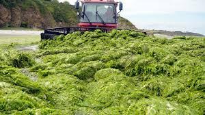 Les ctes de Bretagne de nouveau envahies par les algues vertes