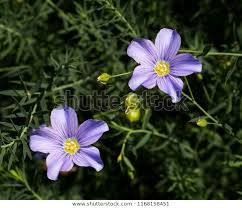 blue flax lint perennial flax bloom