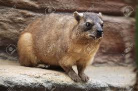 Rock Hyrax (Procavia Capensis), Also Known As The Cape Hyrax... Stock  Photo, Picture And Royalty Free Image. Image 42374898.