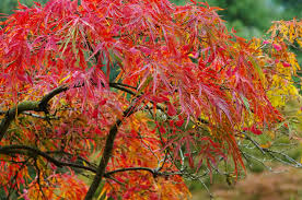 ornamental trees for small and medium