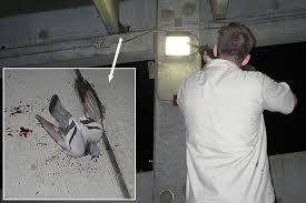 a pigeon shooting