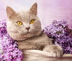 القط البريطاني لطيف الحيوانات ليلك مجانا Hd خلفيات سطح المكتب