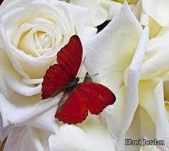 اجمل وردة بيضاء بالعالم لم يسبق له مثيل الصور Tier3 Xyz