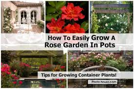how to easily grow a rose garden in pots
