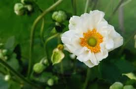 HD wallpaper: white petaled flower in bloom, blossom, anemone, fall anemone  | Wallpaper Flare