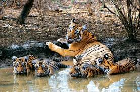 Do not enter the restricted area of Bandhavgarh Tiger Reserve to pick