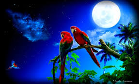 55 cute love bird colorful parrot hd