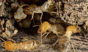Download Largest Termite  Pictures