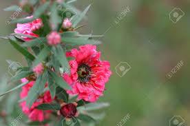 Manuka Myrtle White-pink Flower Blooming (Leptospermum Scoparium ...