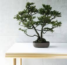 bonsai tree plants and feng s