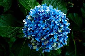 بوكيه ورد ازرق الزهرة المقدسة حلوه خيال