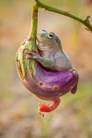 Image result for cute dumpy tree frog