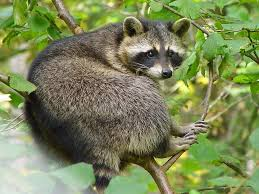Getting Rid Of Raccoons How To Keep Raccoons Away From A Garden