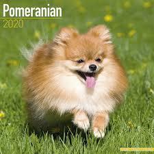Pomeranian Dog Breed Calendar ...