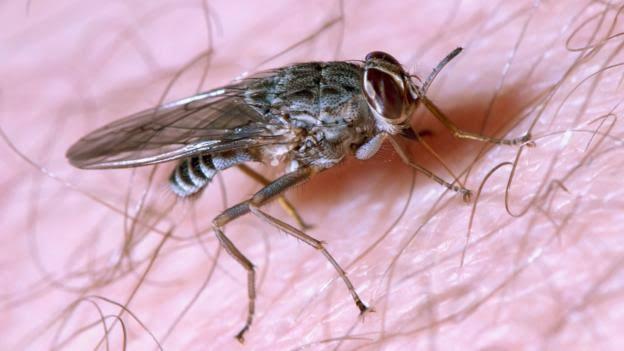 """Image result for tsetse fly"""""""