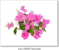 bougainvillea also known as buganvilla bugambilia bouganvel pokok