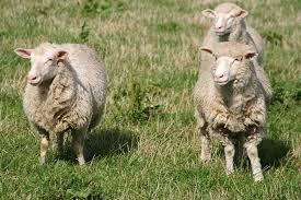 using sheep manure as fertilizer is