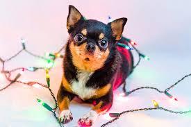 dogs chihuahua lights