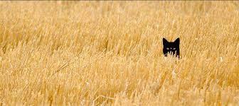 Pisica neagra pitita in lanul de grau. Poze din Arta