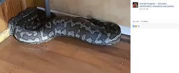 mive snake falls through gym ceiling
