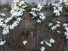 How To Support Climbers On A Garden Fence The Fencestore Blog