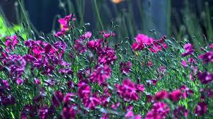 اجمل الورود البنفسجية في العالم
