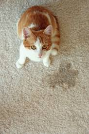 how to clean cat and accidents