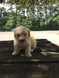 toy poodle puppies conroe