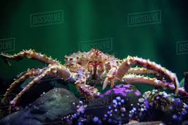 king crab underwater - Stock Photo ...